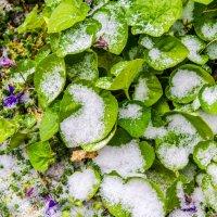 Фиалки в снегу :: Дмитрий Тарарин