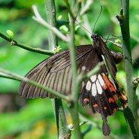 Бабочка :: Lika Shakhmatova
