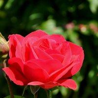 Роза :: Аня Лакина