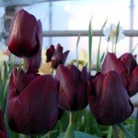 Тюльпаны :: laana laadas