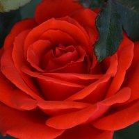 Аллая Роза :: Жанетта Лазарь