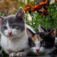 Кошки дворовые, обыкновенные. :: Андрей Печерский