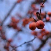 Райское яблочко :: Светлана