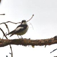 пестрая мухоловка :: linnud
