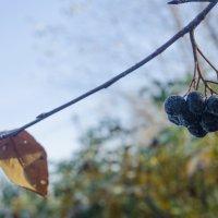 октябрь,арония :: ник. петрович земцов