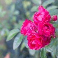осенние розы :: Anastasia Alieva
