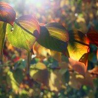 Краски осени златой :: Лариса Шамбраева