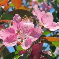 Яблоня цветёт.... :: Ирина