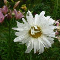 Белая махровая ромашка :: Svetlana27