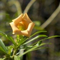Цветок как дудочка :: Александр Деревяшкин