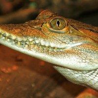 Филиппинский крокодил :: Alexander