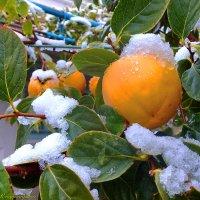 хурма и первый снег :: Юрий Владимирович