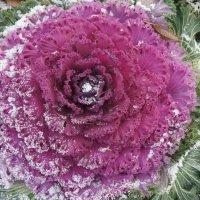 Очаровательная капуста в осеннем саду :: Елена Павлова (Смолова)