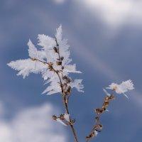 Когда распускаются белые листья... :: Надежда Лаврова