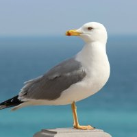 Крымская чайка :: Biget