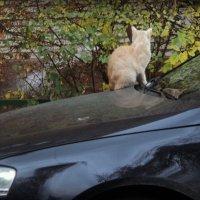 Кот копеек накопил кошке машинку прикупил.. :: Ольга Кривых