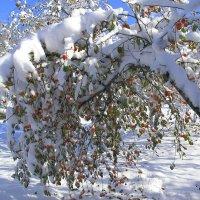 Яблони в снегу - какое чудо ! :: Нина северянка
