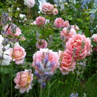 роза Jubilee Celebration  и лаванда узколистная :: lenrouz