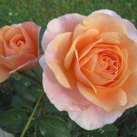 цветы розы Sangerhauser Jubilaumsrose :: lenrouz