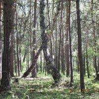В сосновом лесу :: Александр