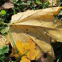 Кленовый лист под лучами солнца :: Яна Чепик