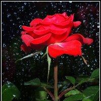 Ночь.Дождь.Окно.Роза.... :: Павлова Татьяна Павлова