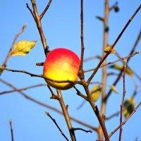 одинокое яблоко в октябре :: Михаил Жуковский