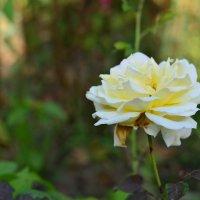 роза :: ГАЛИНА ЧАЛОВА