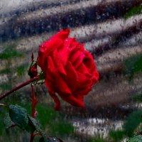 Плакала роза :: Наталья Джикидзе (Берёзина)