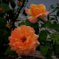 Черногорские розы :: Светлана Карпенко