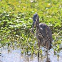 Большая голубая цапля (Great Blue Heron) :: Илья Трейгер