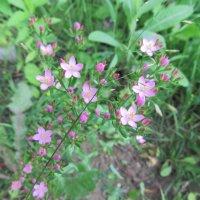 Розовые цветы :: Яна Чепик