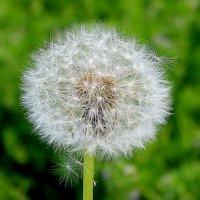 Круглы-круглый и пушистый, солнцем теплым напоен.... :: Маргарита ( Марта ) Дрожжина