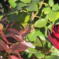 Осень,бархатная роза и бутон... :: Тамара (st.tamara)