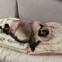 Мои сиамские коты :: Елена Звягинцева