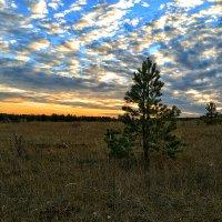 Сосенка на фоне неба :: Александр Преображенский