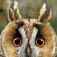 Ушастая сова :: Alexander