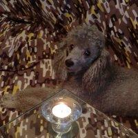 Пудели и свеча... :: Владимир Павлов