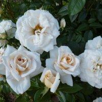 Lions-Rose :: lenrouz