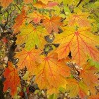 Кленовая красота осени :: Стас Борискин