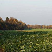 Осень. Свеколка зеленеет. :: Валерия Комова