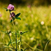 Полевые цветы... :: Леся Прокопенко