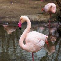 Розовый фламинго :: Александр Лядов