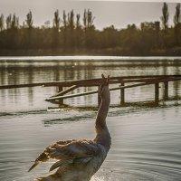 Лебединая песня :: Sergey Lexin
