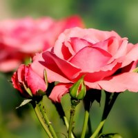 Букет роз :: Анечка Вакуленко