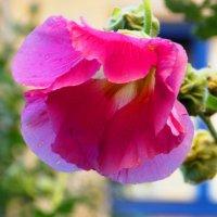 Капельки воды на цветке -2. Автор Саша. :: Фотогруппа Весна.