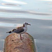Северодвинск. Молоденькая чайка :: Владимир Шибинский