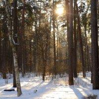 Утро в сосновом лесу :: Николай Танаев