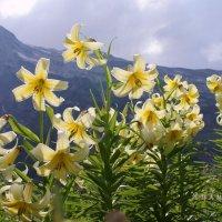 Посмотрите на лилии... :: Lilija
