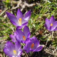 Цветы крокусы (шафран) - предвестники весны :: Елена Смолова